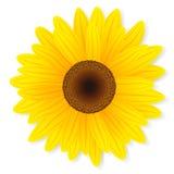 Zonnebloem op witte achtergrond wordt geïsoleerd die. Royalty-vrije Stock Foto