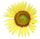Zonnebloem op witte achtergrond, Zonnebloem Royalty-vrije Stock Foto's