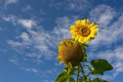 Zonnebloem over bewolkte blauwe hemel Stock Afbeeldingen