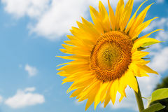 Zonnebloem over blauwe hemel Royalty-vrije Stock Afbeeldingen