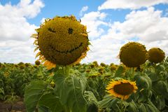 Zonnebloem Smiley Face Winking stock foto's