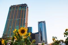 Zonnebloem in stad Stock Afbeelding