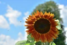 Zonnebloem in Sunny Summer Day stock afbeelding
