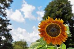 Zonnebloem in Sunny Summer Day stock foto's