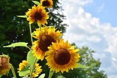 Zonnebloem in Sunny Summer Day royalty-vrije stock afbeelding