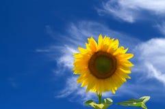 Zonnebloem tegen blauwe hemel royalty-vrije stock afbeeldingen