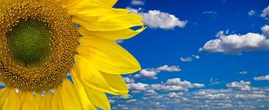 Zonnebloem tegen blauwe hemel Stock Afbeeldingen