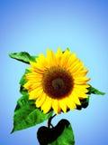 Zonnebloem tegen de donkerblauwe hemel Royalty-vrije Stock Foto's