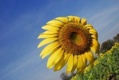 Zonnebloem tegen de wind royalty-vrije stock foto's