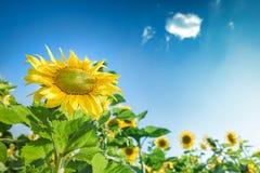 Zonnebloem tegen een blauwe hemel Stock Afbeelding