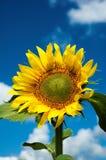 Zonnebloem tegen een blauwe hemel en wolken Royalty-vrije Stock Afbeelding