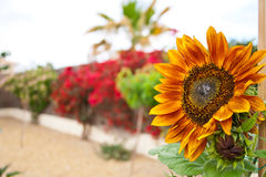 Zonnebloem tegen een muur van kleuren Royalty-vrije Stock Foto's