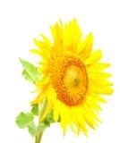 Zonnebloem tegen witte achtergrond Stock Foto's