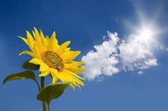 Zonnebloem tegen zonnige hemel Stock Afbeelding