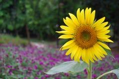 Zonnebloem in tuin Stock Afbeelding