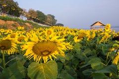 Zonnebloem in Tuin Stock Afbeeldingen