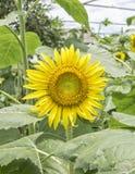 Zonnebloem in tuin, Royalty-vrije Stock Afbeeldingen