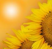 Zonnebloem twee op de zonnige achtergrond Royalty-vrije Stock Afbeeldingen
