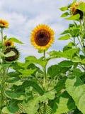 Zonnebloem in volledige bloei Stock Afbeeldingen