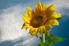 Zonnebloem voor achtergrond royalty-vrije stock afbeelding