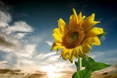 Zonnebloem voor achtergrond stock foto's