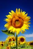 Zonnebloem in voorgrond, blauwe achtergrond Stock Foto