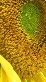 Zonnebloem, zonbloem, sonnenblume Royalty-vrije Stock Afbeeldingen