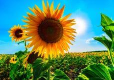Zonnebloem in zonnige blauwe hemel Stock Fotografie