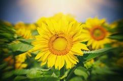 Zonnebloem in zonnige dag Stock Fotografie