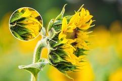 Zonnebloembloem door aphids wordt beïnvloed die stock foto
