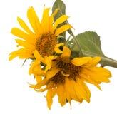 Zonnebloembloemen op een witte achtergrond stock foto