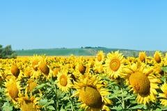 Zonnebloembloemen op gebied in het gebied van de Kaukasus Stock Afbeeldingen