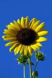 Zonnebloemclose-up Royalty-vrije Stock Afbeelding