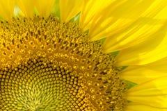 Zonnebloemclose-up gedeeltelijk stock afbeeldingen