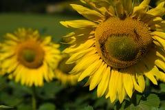 Zonnebloemclose-up met bijen Stock Afbeeldingen