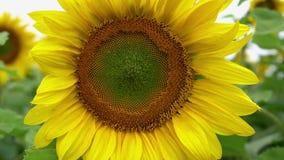 Zonnebloemclose-up tegen de achtergrond van een gebied van zonnebloemen stock videobeelden