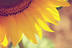 Zonnebloemdetail Stock Afbeelding