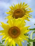 Zonnebloemen 1 stock afbeelding