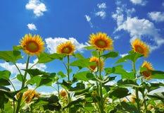 Zonnebloemen Stock Afbeelding