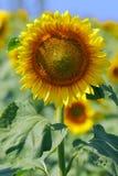 Zonnebloemen Stock Fotografie