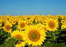 Zonnebloemen. Stock Afbeelding