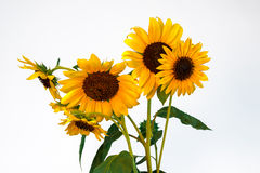 zonnebloemen Royalty-vrije Stock Afbeelding