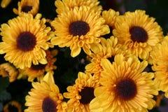 Zonnebloemen Royalty-vrije Stock Foto's