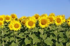 Zonnebloemen Royalty-vrije Stock Afbeeldingen