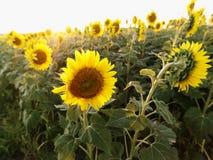 Zonnebloemen. stock foto