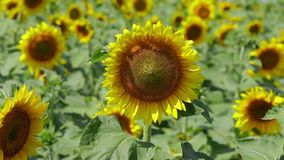 Zonnebloemen stock videobeelden