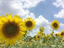 Zonnebloemen in Bangkok Thailand royalty-vrije stock afbeeldingen