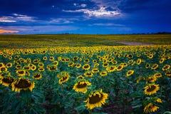 Zonnebloemen bij Blauw Uur stock afbeeldingen