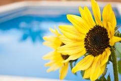 Zonnebloemen bij de pool Stock Foto's