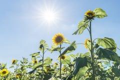 Zonnebloemen bij een zonnige de zomerdag met zon en zonnestraal royalty-vrije stock foto